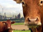 Cows with industry in the background