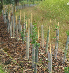 hedge planting example