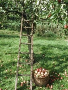 pick apples