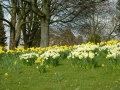 Stevens-Wollescote-Park-Stourbridge-Daffodils-2