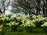 Stevens-Wollescote-Park-Stourbridge-Daffodils