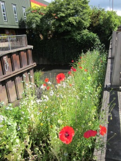 poppies towards river
