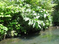 Giant hogweed, River Stour behind Lion Health Centre